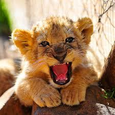bb lion
